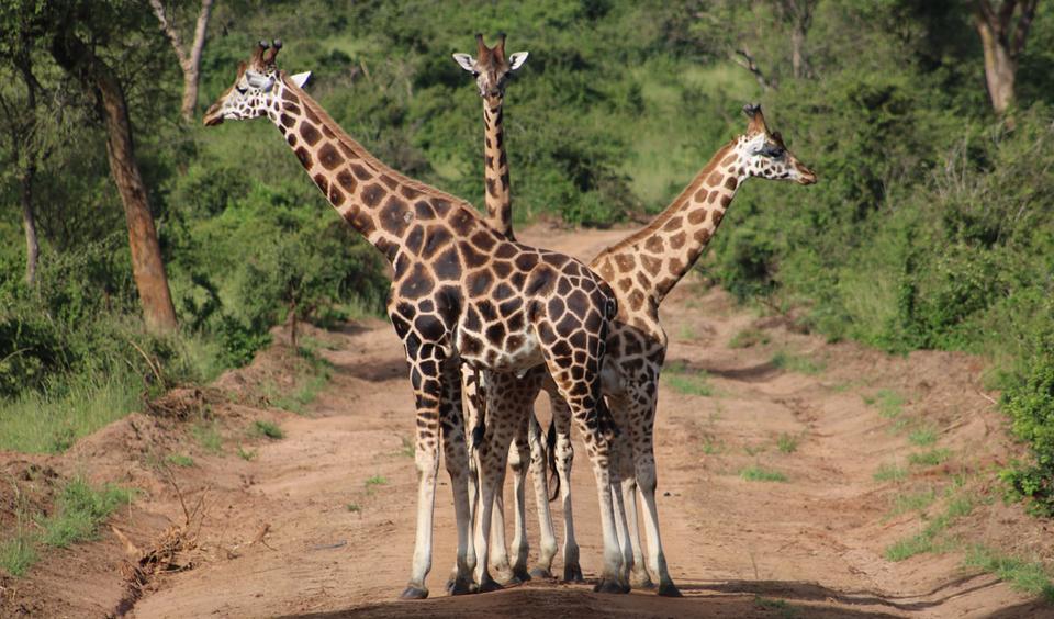 Giraf tong