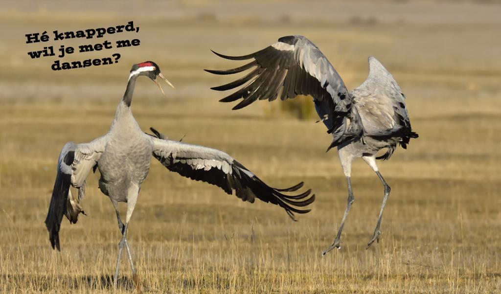 Kraanvogeltjesdans