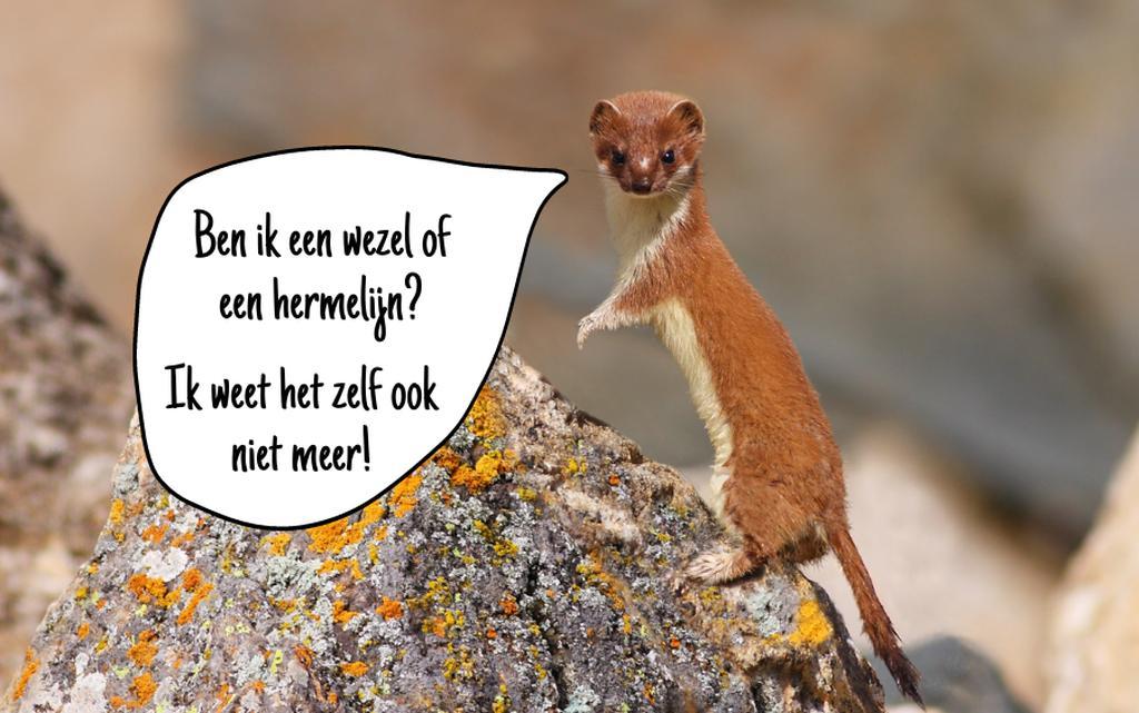 Wezel of hermelijn