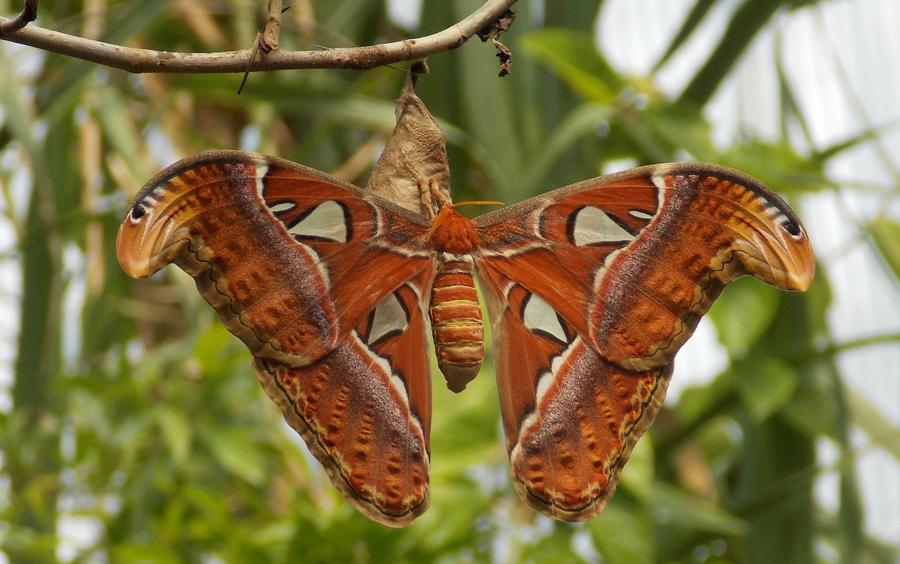 grootste insecten