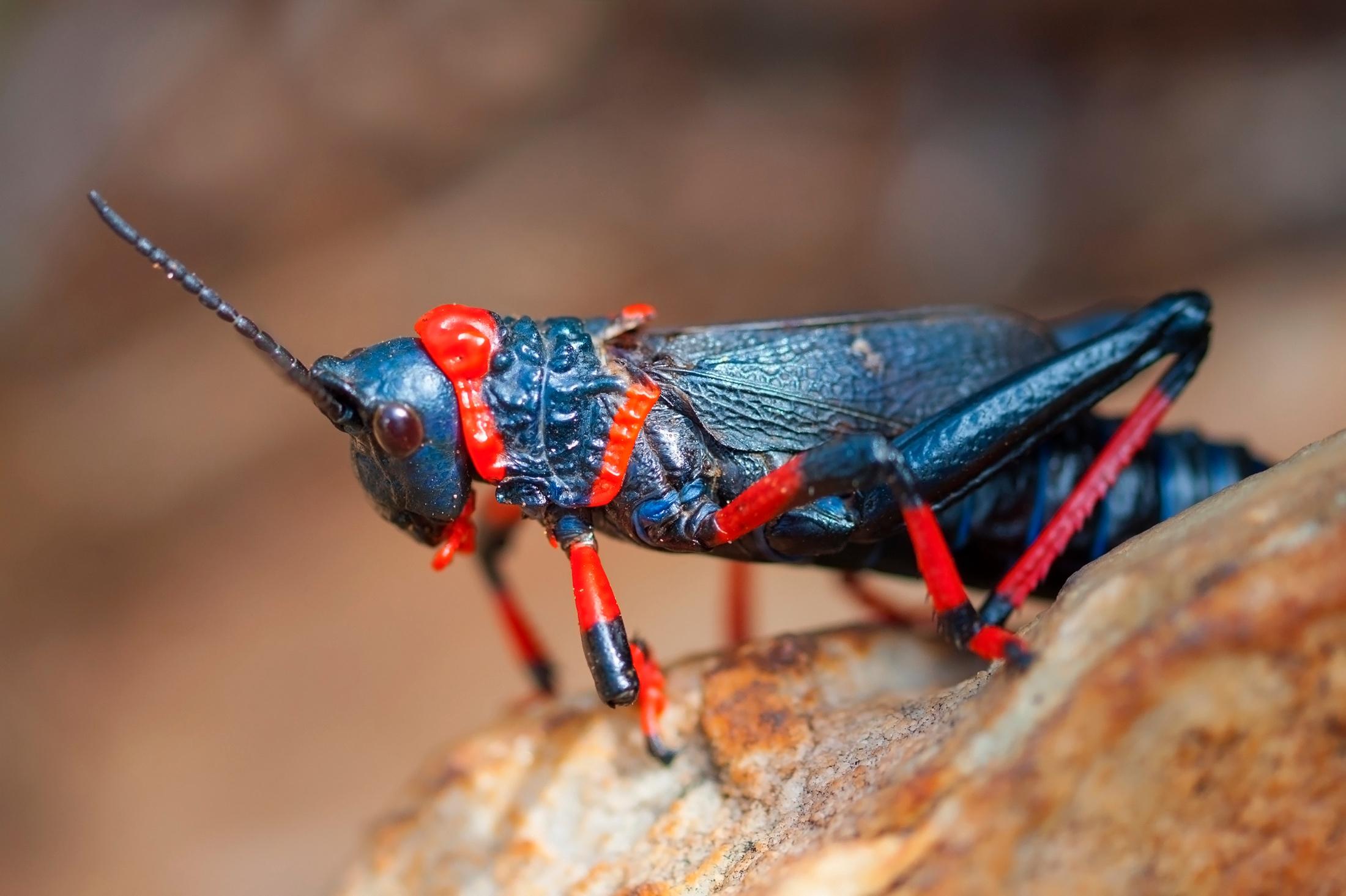 Schuimsprinkhaan zwart rood gekleurd